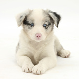 Merle Border Collie Puppy, 6 Weeks, Lying with Head Up Photographic Print by Mark Taylor