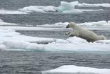 Polar Bear (Ursus Maritimus) Leaping from Sea Ice, Moselbukta, Svalbard, Norway, July 2008 Photographic Print by de la