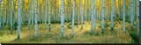 Aspens, Ashley Stretched Canvas Print by Alain Thomas