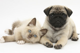 Fawn Pug Puppy, 8 Weeks, and Birman-Cross Kitten Photographic Print by Mark Taylor