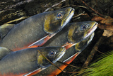Arctic Charr (Salvelinus Alpinus) Males Showing Breeding Colours, in Spawning River, Cumbria, UK Fotografie-Druck von Linda Pitkin