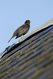 Male Blackbird (Turdus Merula) Perched on Old Barn Roof, Inverness-Shire, Scotland, UK, November Reproduction photographique par Mark Hamblin