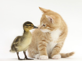 Ginger Kitten and Mallard Duckling, Beak to Nose Photographic Print by Mark Taylor