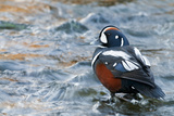 Male Harlequin Duck (Histrionicus Histrionicus) Standing in Water, Laxa River, Mývatn, Iceland Photographic Print by O. Haarberg