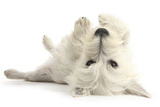 West Highland White Terrier Bitch, Milly, Lying Playfully on Her Back Photographic Print by Mark Taylor
