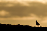 Golden Plover (Pluvialis Apricaria) Silhouette at Sunrise on Moorland, Scotland, UK, June Photographic Print by Mark Hamblin