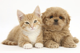 Peekapoo (Pekingese X Poodle) Puppy and Ginger Kitten Photographic Print by Mark Taylor