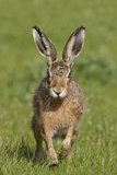 European Hare (Lepus Europaeus), Wirral, England, UK, May Photographic Print by Richard Steel