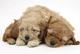 Two Golden Cockerpoo (Cocker Spaniel X Poodle) Puppies Sleeping Photographic Print by Mark Taylor