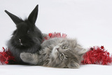 Maine Coon Kitten, 8 Weeks Old, and Black Baby Dutch X Lionhead Rabbit with Red Christmas Tinsel Photographic Print by Mark Taylor