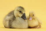Yellow Gosling and Duckling on Yellow Background Photographic Print by Mark Taylor