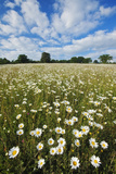 Traditionally Managed Wildflower Meadow with Ox-Eye Daisy (Leucanthemum Vulgare)Somerset, UK Photographic Print by Guy Edwardes