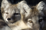 Two Arctic Foxes (Alopex Lagopus) Trygghamna, Svalbard, Norway, July 2008 Photographic Print by de la