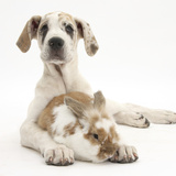 Great Dane Puppy, Tia, 14 Weeks, with Brown and White Rabbit Photographic Print by Mark Taylor