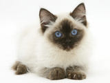 Ragdoll Kitten, 12 Weeks, with Deep Blue Eyes Photographic Print by Mark Taylor