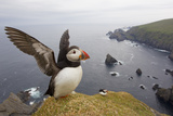 Atlantic Puffin (Fratercula Artica) Adult on Breeding Cliffs. Hermaness Nnr, Shetland, UK, June Photographic Print by Mark Hamblin