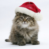Maine Coon Kitten, 8 Weeks Old, Wearing a Father Christmas Hat Photographic Print by Mark Taylor