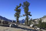 Whitebark Pine (Pinus Albicaulis) and Granite Boulders in Yosemite National Park, California, USA Photographic Print by Mark Taylor