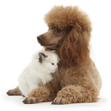 Red Toy Poodle and Ragdoll-Cross Kitten, 5 Weeks Photographic Print by Mark Taylor