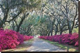 Azaleas, Bonaventure Stretched Canvas Print by Winthrope Hiers