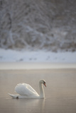 Mute Swan (Cygnus Olor) in Dawn Mist, Loch Insh, Cairngorms Np, Highlands, Scotland UK, December Photographic Print by Peter Cairns