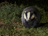 Badger (Meles Meles) at Night, Oxfordshire, England, UK, October Photographic Print by Richard Steel