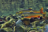 Arctic Charr (Salvelinus Alpinus) Males in a River Ready to Spawn, Ennerdale, Lake District Np, UK Fotografie-Druck von Linda Pitkin