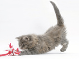 Maine Coon Kitten, 8 Weeks, Playing with a Rope Toy Photographic Print by Mark Taylor