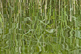 Abstract Reflection of Reeds in Rippled Water, Somerset Levels, Somerset, England, UK, June Photographic Print by Guy Edwardes