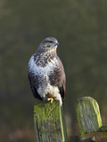 Common Buzzard (Buteo Buteo) Perched on a Gate Post, Cheshire, England, UK, December Papier Photo par Richard Steel
