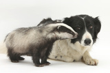 Young Badger (Meles Meles) and Black-And-White Border Collie Photographic Print by Mark Taylor