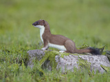 Stoat (Mustela Erminea) Standing on Rock in Saltmarsh, Conwy, Wales, UK, June Photographic Print by Richard Steel