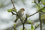Redpoll (Carduelis Flammea) Adult Male Perched. Wales, UK, February Photographic Print by Mark Hamblin