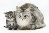 Maine Coon Mother Cat, Bambi, and Her Tabby Kitten, Goliath Photographic Print by Mark Taylor