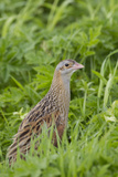 Corncrake (Crex Crex) Amongst Grass, Balranald Rspb Reserve, North Uist, Scotland, UK, May Photographic Print by Peter Cairns