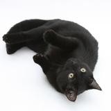 Black Male Cat, Joey, 6 Months, Rollling on Back Photographic Print by Mark Taylor