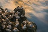 Northern Gannet (Morus Bassanus) Colony, Seabird Cliff, Langanes Peninsula, Iceland, July 2008 Photographie par O. Haarberg
