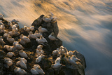 Northern Gannet (Morus Bassanus) Colony, Seabird Cliff, Langanes Peninsula, Iceland, July 2008 Photographic Print by O. Haarberg