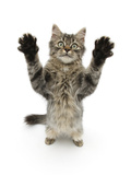 Tabby Kitten, 5 Months, Standing Up with Raised Paws Photographic Print by Mark Taylor