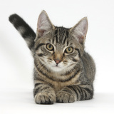 Tabby Male Kitten, Fosset, 4 Months Old, Lying with His Head Up Photographic Print by Mark Taylor