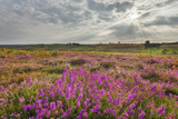 Bell Heather (Erica Cinerea) Flowering on Vereley Hill, Burley, New Forest Np, Hampshire, UK Photographic Print by Guy Edwardes