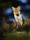 Red Fox (Vulpes Vulpes) Sitting in Deciduous Woodland, Lancashire, England, UK, November Photographic Print by Richard Steel