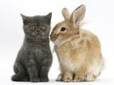 Grey Kitten with Sandy Lionhead-Cross Rabbit Photographic Print by Mark Taylor