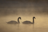 Mute Swans (Cygnus Olor) in Mist at Dawn, Loch Insh, Cairngorms Np, Highlands, Scotland, December Photographic Print by Peter Cairns