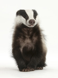Portrait of a Young Badger Sitting (Meles Meles) Photographic Print by Mark Taylor