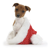 Jack Russell Terrier Cross Chihuahua Pup, Nipper, Sitting in a Father Christmas Hat Photographic Print by Mark Taylor