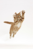 Ginger Kitten Leaping with Legs and Claws Outstretched Photographic Print by Mark Taylor