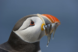 Puffin (Fratercula Arctica) with Sand Eels in Beak, Farne Islands, Northumberland, June Fotografie-Druck von Rob Jordan