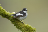 Pied Flycatcher (Ficedula Hypoleuca) Male Perched. Wales, UK, February Reproduction photographique par Mark Hamblin