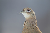 Female Pheasant (Phasianus Colchicus) Portrait Cairngorms National Park, Scotland, April Photographic Print by Peter Cairns